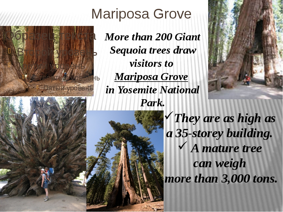 Mariposa Grove More than 200 Giant Sequoia trees draw visitors to Mariposa Gr...
