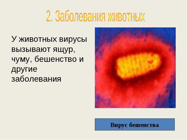 У животных вирусы вызывают ящур, чуму, бешенство и другие заболевания Вирус б...