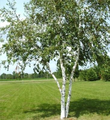 береза, деревья, береза летом, березовая роща,