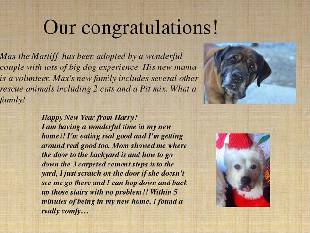 Max the Mastiff has been adopted by a wonderful couple with lots of big dog e...