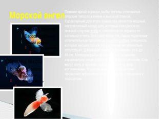 Морской ангел Помимо яркой окраски, рыбы-ангелы отличаются плоским телосложен