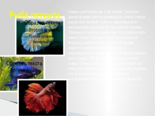 Рыба петушок Самцы достигают до 5см длины. Окраска дикой формы светло-оливко