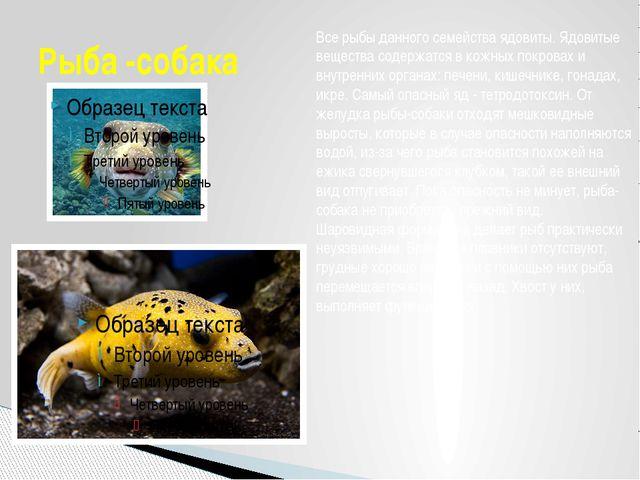 Рыба -собака Все рыбы данного семейства ядовиты. Ядовитые вещества содержатся...