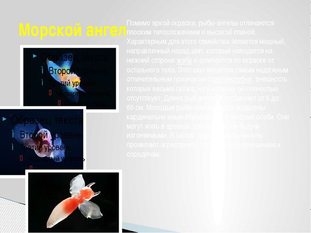 Морской ангел Помимо яркой окраски, рыбы-ангелы отличаются плоским телосложен...