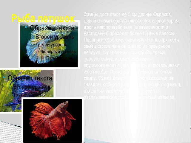Рыба петушок Самцы достигают до 5см длины. Окраска дикой формы светло-оливко...