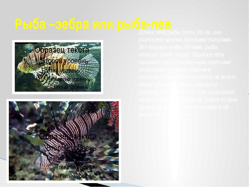 Рыба –зебра или рыба-лев Длина тела рыбы около 30см, оно расписано яркими св...