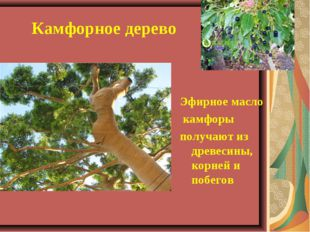 Камфорное дерево Эфирное масло камфоры получают из древесины, корней и побе