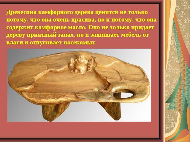 Древесина камфорного дерева ценится не только потому, что она очень красива,...