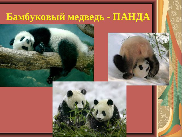 Бамбуковый медведь - ПАНДА