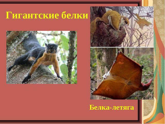 Гигантские белки Белка-летяга