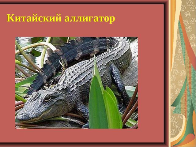 Китайский аллигатор