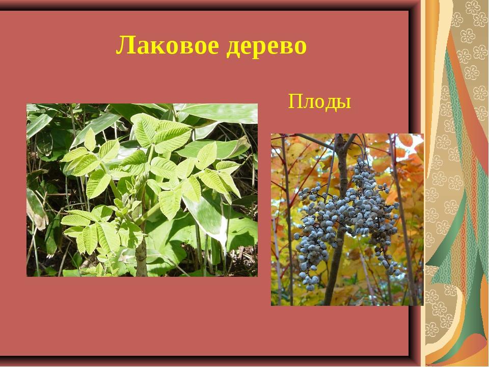 Лаковое дерево Плоды