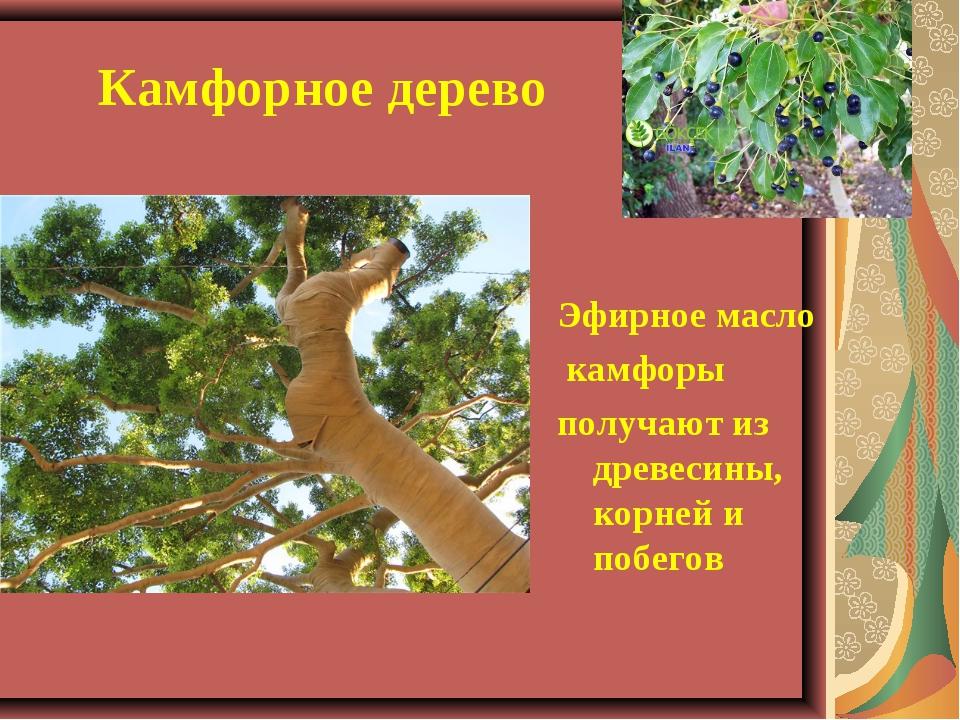 Камфорное дерево Эфирное масло камфоры получают из древесины, корней и побе...