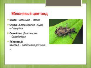 Яблоневый цветоед Класс:Насекомые –Insecta Отряд:Жесткокрылые (Жуки) –Col