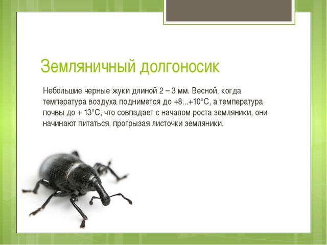 Земляничный долгоносик Небольшие черныежукидлиной 2 – 3 мм. Весной, когда т...