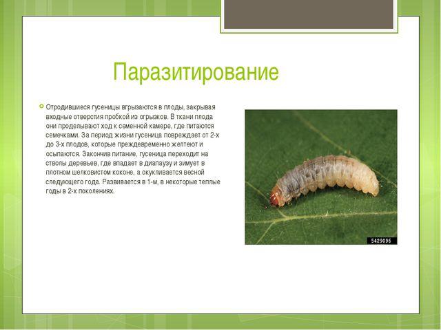 Паразитирование Отродившиеся гусеницы вгрызаются в плоды, закрывая входные от...