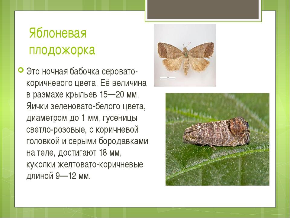 Яблоневая плодожорка Это ночная бабочка серовато-коричневого цвета. Её величи...