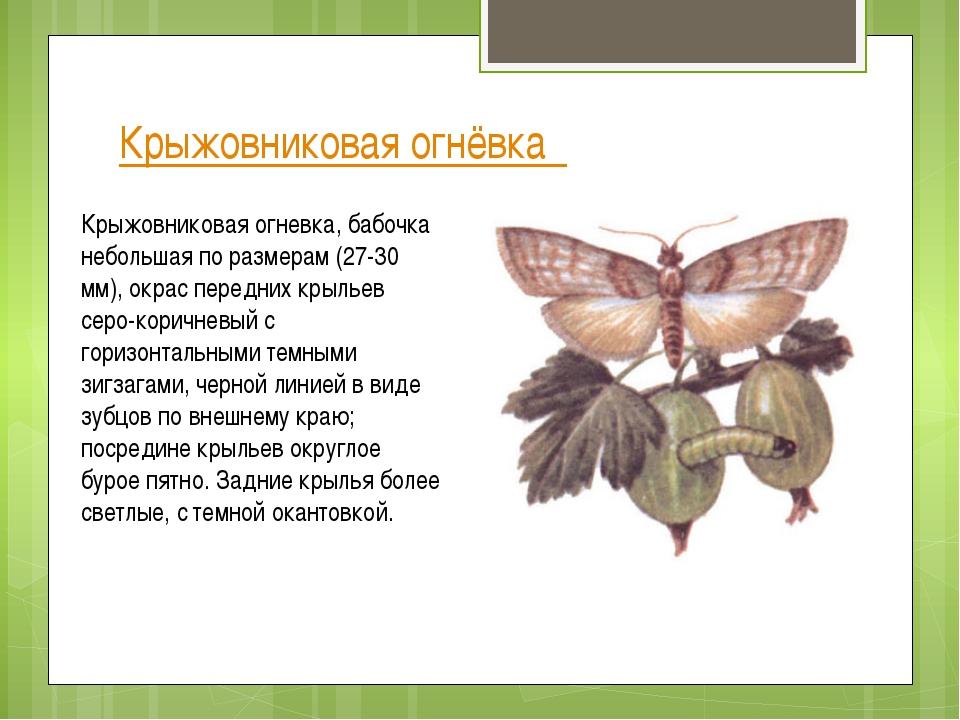 Крыжовниковая огнёвка Крыжовниковая огневка, бабочка небольшая по размерам (2...