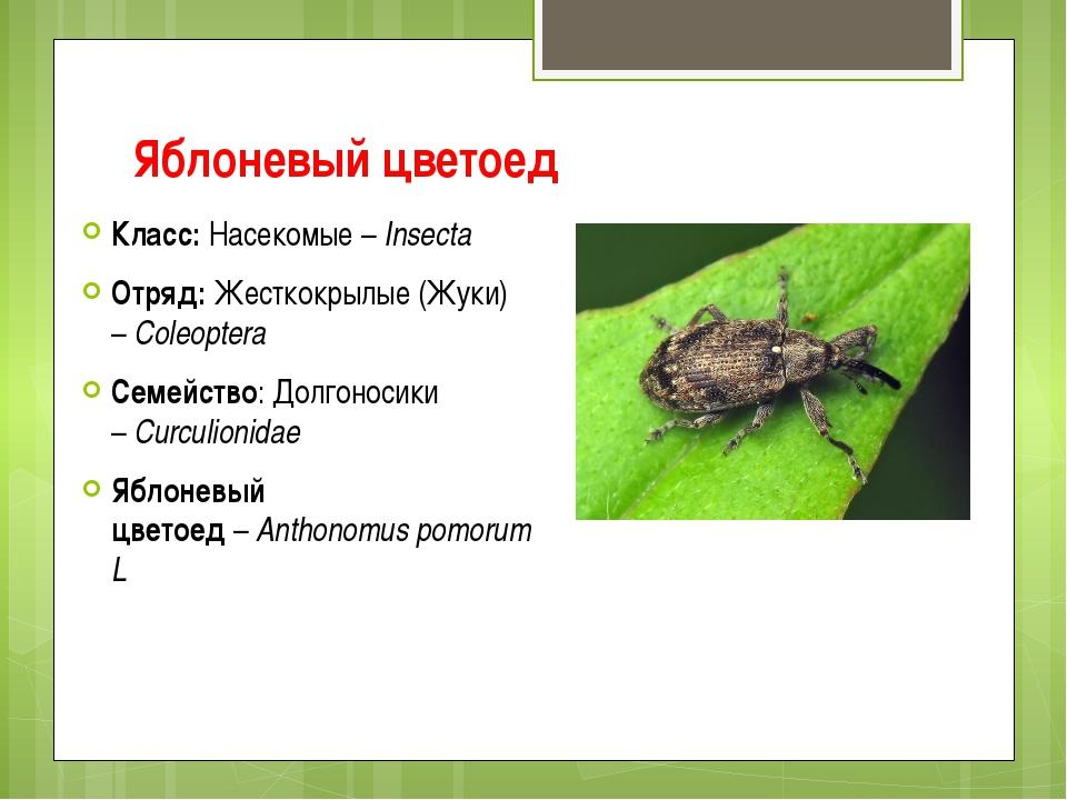 Яблоневый цветоед Класс:Насекомые –Insecta Отряд:Жесткокрылые (Жуки) –Col...
