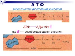 А Т Ф (аденозинтрифосфорная кислота) АТФ АДФ+Ф+Е где Е — освобождающаяся энер
