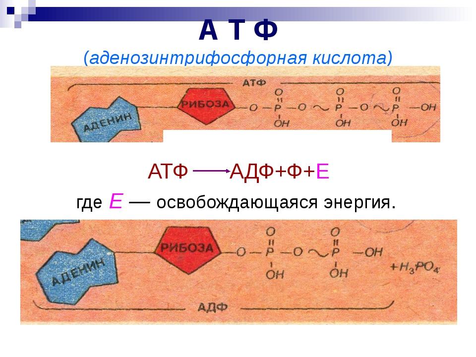 А Т Ф (аденозинтрифосфорная кислота) АТФ АДФ+Ф+Е где Е — освобождающаяся энер...