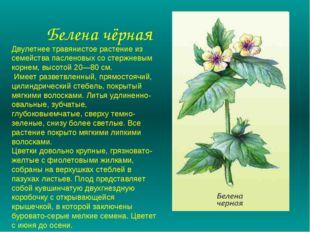 Белена чёрная Двулетнее травянистое растение из семейства пасленовых со стер