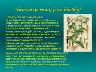 Тысячелистник (эмн баавhу) Трава тысячелистника обладает многосторонними поле