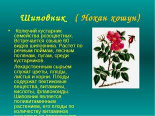 Шиповник ( Нохан хошун) Колючий кустарник семейства розоцветных. Встречается