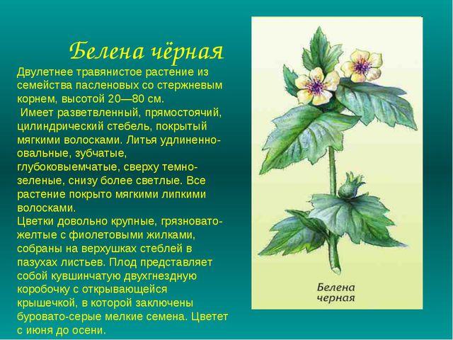 Белена чёрная Двулетнее травянистое растение из семейства пасленовых со стер...