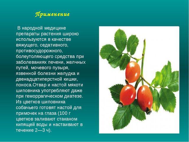 Применение В народной медицине препараты растения широко используются в качес...