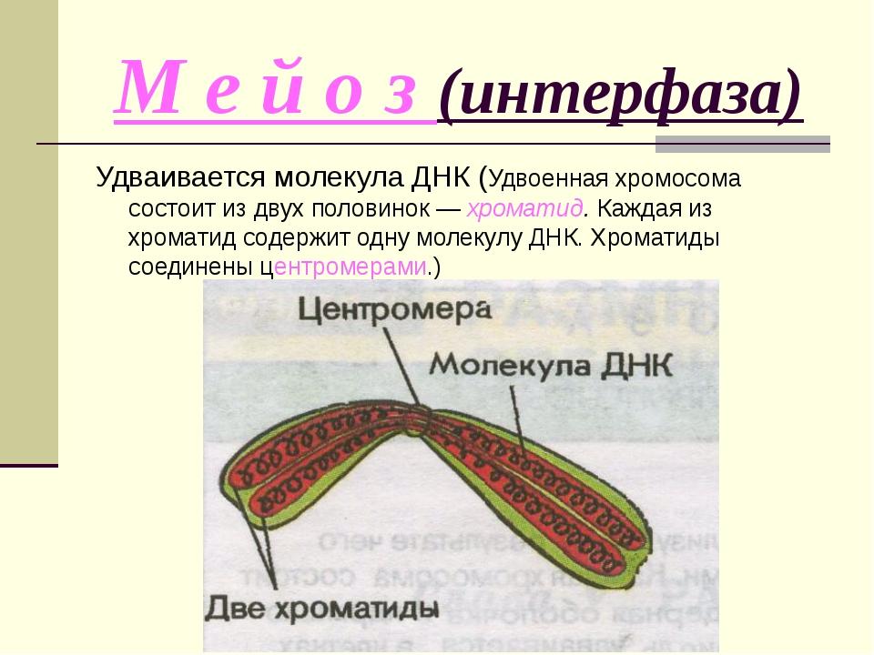 М е й о з (интерфаза) Удваивается молекула ДНК (Удвоенная хромосома состоит и...