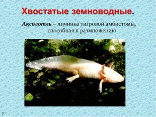 Аксолотль – личинка тигровой амбистомы, способная к размножению 7
