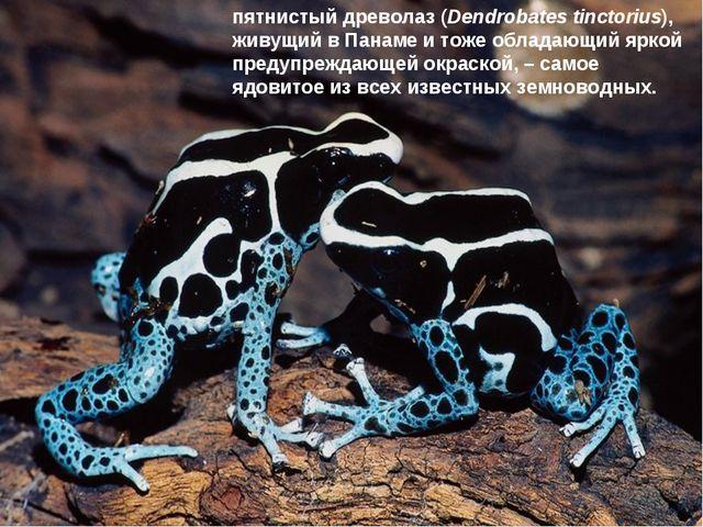 * * пятнистый древолаз (Dendrobates tinctorius), живущий в Панаме и тоже обла...
