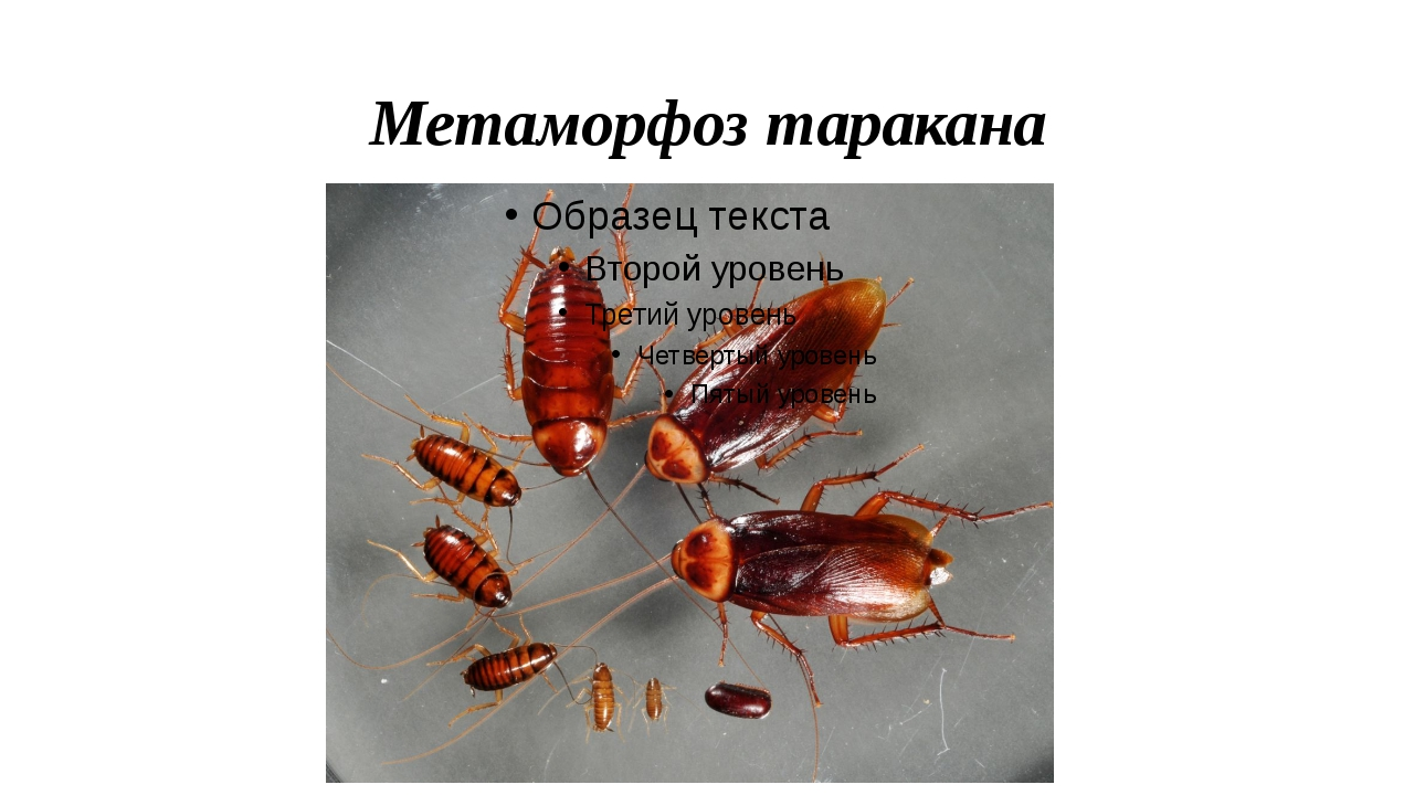 Метаморфоз таракана