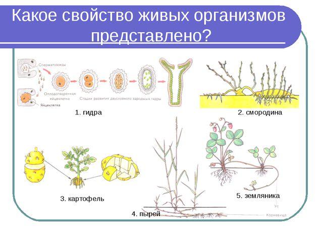 Какое свойство живых организмов представлено? 1. гидра 2. смородина 3. картоф...