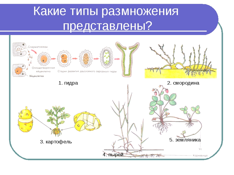 Какие типы размножения представлены? 1. гидра 2. смородина 3. картофель 4. пы...
