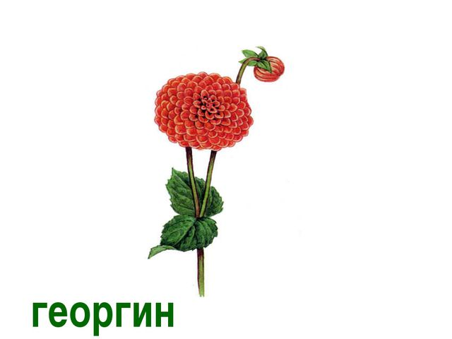 георгин