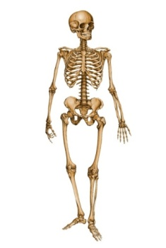 http://fc07.deviantart.net/fs70/f/2011/020/9/1/human_skeleton_12029879_by_stockproject1-d37nw3e.jpg