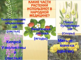 Плаун булавовидный (Споры) Земляника лесная (ягоды) Кипрей Узколистный (листь