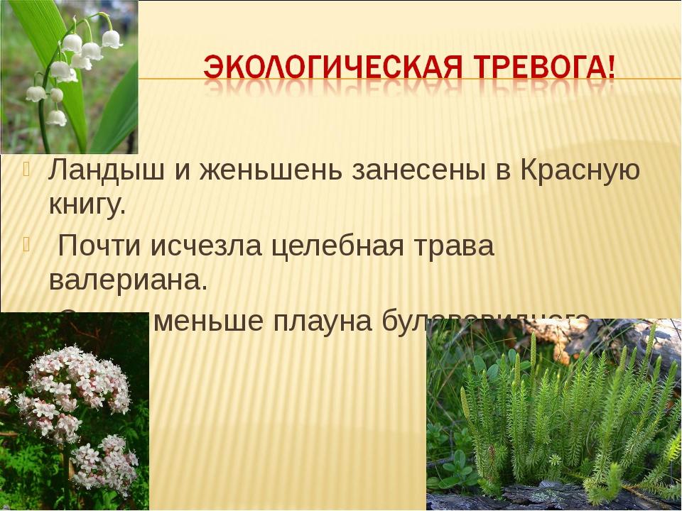 Ландыш и женьшень занесены в Красную книгу. Почти исчезла целебная трава вале...