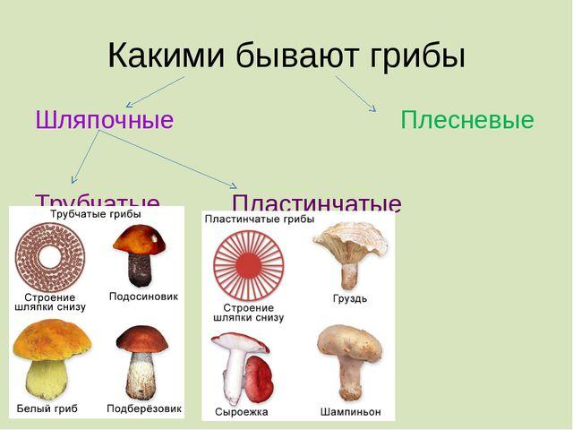 Какими бывают грибы Шляпочные Плесневые Трубчатые Пластинчатые