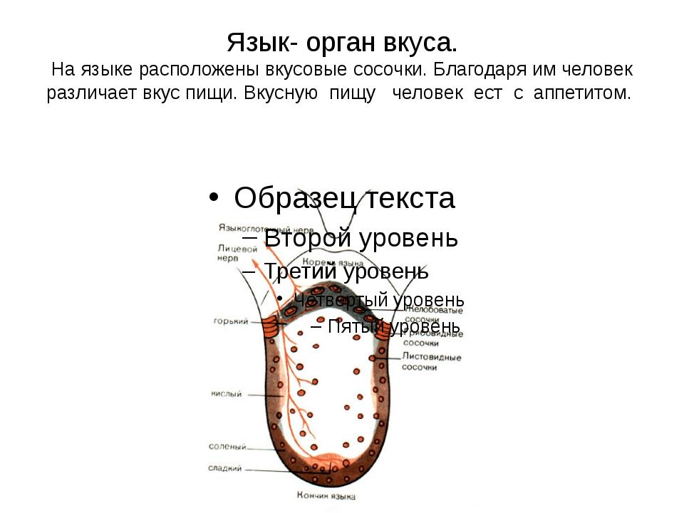Язык- орган вкуса. На языке расположены вкусовые сосочки. Благодаря им челове...