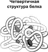 четвертичная структура белка