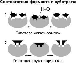 фермент и субстрат