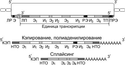 Строение гена эукариот