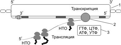 Транскрипция и трансляция у прокариот