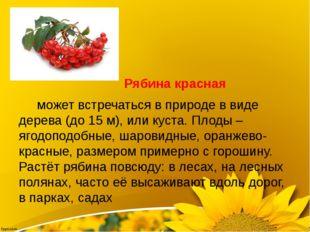 Рябина красная может встречаться в природе в виде дерева (до 15 м), или куст