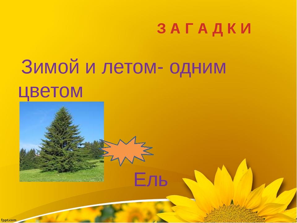 З А Г А Д К И Зимой и летом- одним цветом Ель