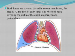 Both lungs are covered by a thin serous membrane, the pleura. At the root of