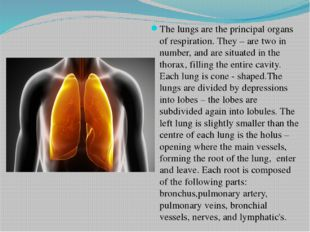 The lungs are the principal organs of respiration. They – are two in number,